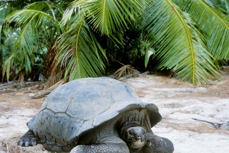 A giant turtle of the island of Curieuse, Seychelles